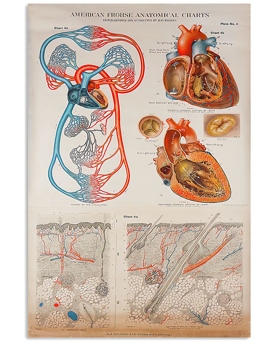 human heart anatomical cardiologist poster 1