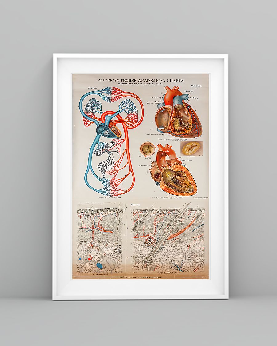 human heart anatomical cardiologist poster 3